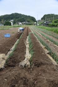 農作業風景。長ネギ植え付け
