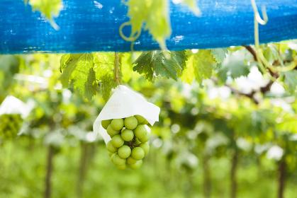 日本の山梨県・7月、収穫直前のブドウ