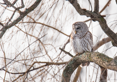 Close up of barred owl sitting on bare branch of tree on a cloudy day.