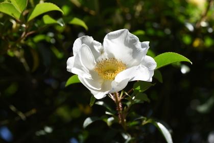 ナニワイバラ(難波茨)の花