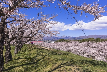 北海道 函館市 五稜郭公園 満開の桜の花