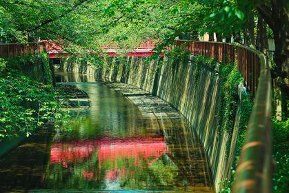 東京都 目黒川 新緑