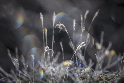 霜が降りたススキの草原が虹色の光に包まれる