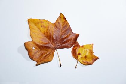 プラタナスの2枚の落ち葉