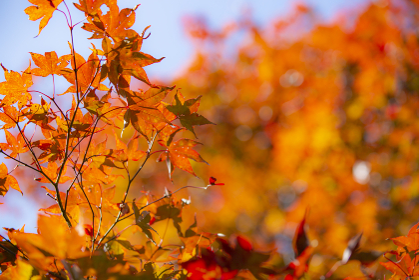 長野県飯田市 野底山森林公園の紅葉