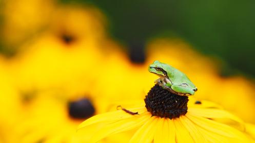 黄色い花ルドベキアとアマガエル
