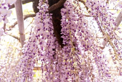 柳川市 満開の藤の花