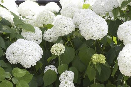 ナチュラルガーデンの初夏に咲くアナベル
