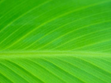 大きな緑の葉の模様 6月