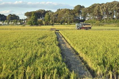 見沼田圃・収穫間近な稲田