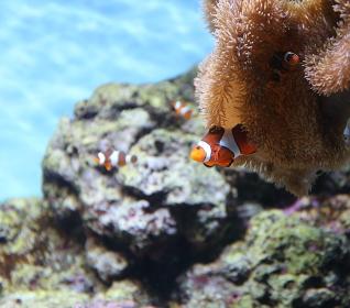 サンゴの陰から顔を出したカクレクマノミ