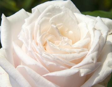 輝きを放つ白系の色のバラ