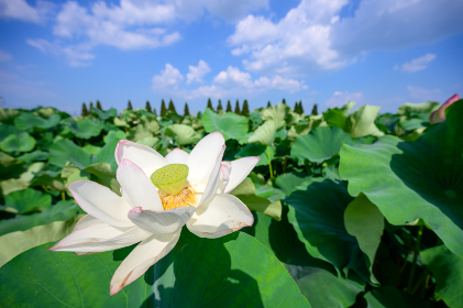 初夏の青空の下の咲く二千年ハス