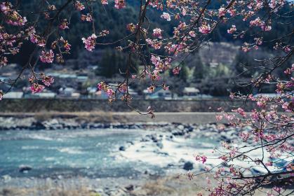 長野県飯田市南信濃 遠山の河津桜 サクラ