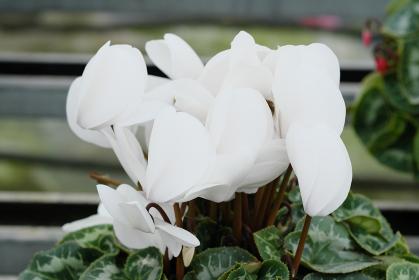 純白の美しいシクラメン