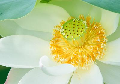 白い蓮の花のクローズアップ