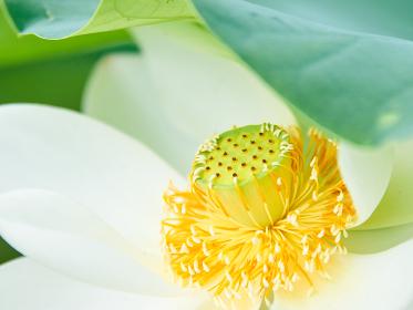 白い蓮の花の蕊のアップ