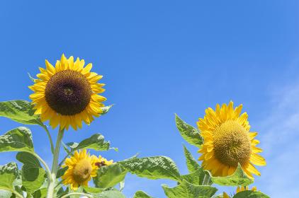 青空背景に満開のひまわり。夏のイメージ。
