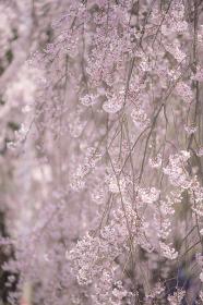 長野県飯田市 麻績の里 舞台桜