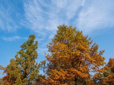 秋の青空と紅葉した針葉樹 11月