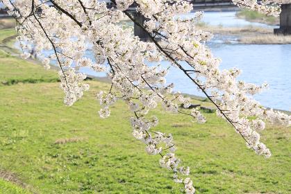 桧木内川堤の桜
