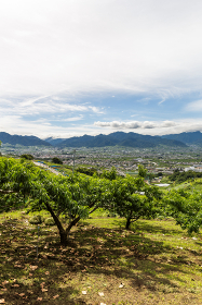 日本・7月の山梨県、梅雨の晴れ間の桃畑と甲府