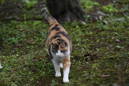 庭を散策中の三毛猫(11歳)