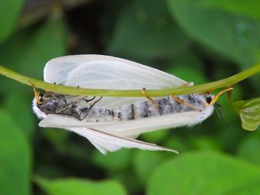蔓につかまって交尾するキアシドクガの成虫