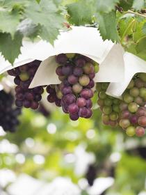 果樹園の葡萄