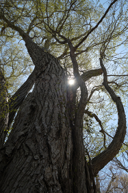 カツラの大木・新緑