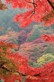 嵐山の紅葉(縦アングル)