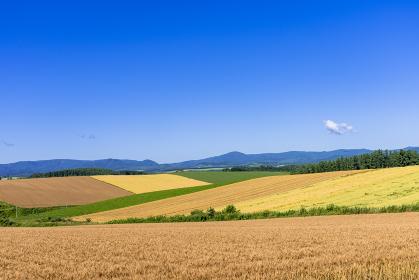美瑛・パッチワークの丘の麦畑