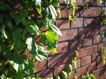 赤レンガの壁に青々と茂る蔦
