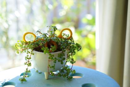 窓辺に置かれたブタの顔に見える観葉植物プミラ