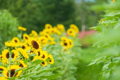 馬見丘陵公園のひまわり畑 向日葵 真夏 8月 イメージ