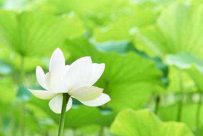 一輪の白い蓮の花