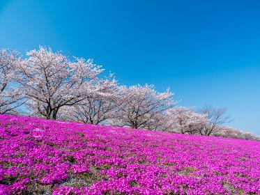 青空の東京都北区赤羽の荒川河川敷 桜と芝桜の風景 4月