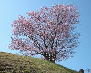 旭山記念公園のエゾヤマザクラ