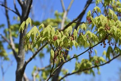 春のモミジの葉と花