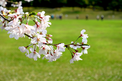 桜が見守る公園の風景