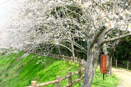 桜が咲く関吉の疎水溝の入口の風景のアップ