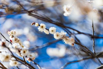 青空に映える早春の綺麗な白梅