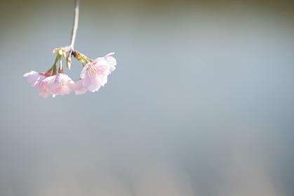 かわいい桜の花