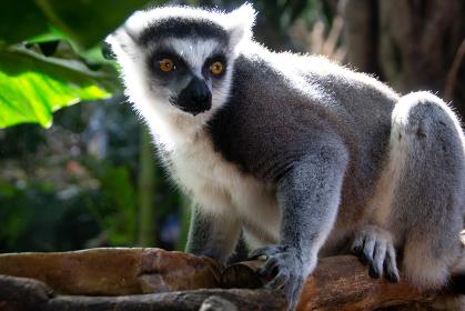 木に掴まる可愛いワオキツネザルの写真全身動物園猿サル