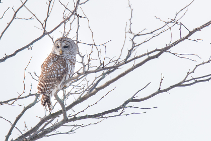 Beautiful barred owl sitting on bare branch of tree on a cloudy day.
