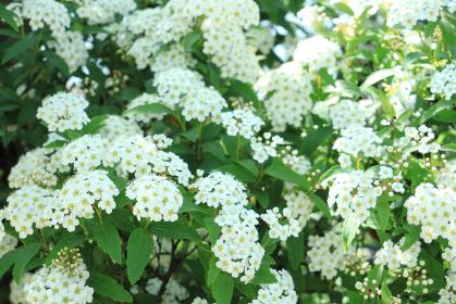 コデマリの花 7