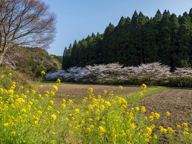 満開の桜と里山の風景