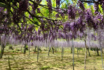 美しい紫色の藤の景色
