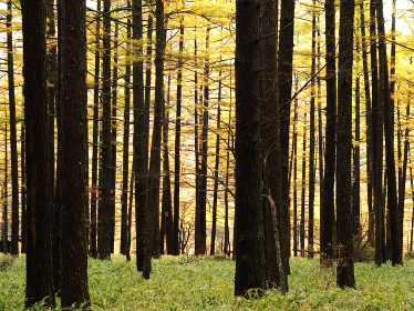 カラマツ林の紅葉 晩秋の景色