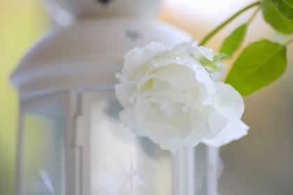 白いランプとバラ
